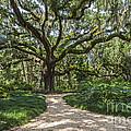 Majestic Oak by John Zawacki