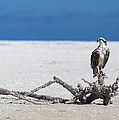 Majestic Osprey by Sean Allen