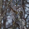 Majestic Owl by Cheryl Baxter