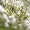 Majestic Queen -  Queen Anne's Lace Daucus Carota by Angie Rea