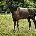 Majestic Stallion Horse In A Pasture by Michael Shake