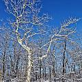 Majestic Sycamore In Winter by Patti Smith