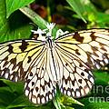 Malabar Tree Nymph Butterfly by Millard H. Sharp