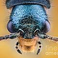 Malachite Beetle by Matthias Lenke