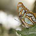 Malachite Butterfly by Bryan Keil