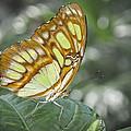 Malachite Butterfly by David and Carol Kelly
