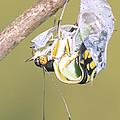 Malachite Butterfly Emerging 4 Of 6 by Millard H. Sharp