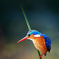 Malachite Kingfisher by Johan Swanepoel