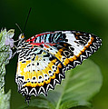 Malay Lacewing Butterfly by Bill Dodsworth
