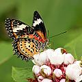 Malay Lacewing by Grant Glendinning