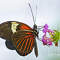 Malay Lacewing by Nick  Boren