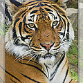 Malayan Tiger 1 by Walter Herrit