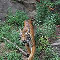 Malayan Tiger by Judy Whitton