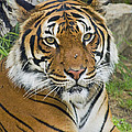 Malayan Tiger by Walter Herrit