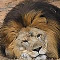 Male African Lion by Cathy Lindsey