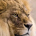 Male African Lion by Jim Hughes