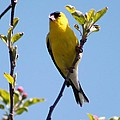 Male American Goldfinch Gathering Feathers For The Nest by J McCombie