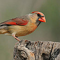 Male And Female Cardinal by Dave Mills