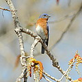 Male Bluebird In Budding Tree by Robert Frederick