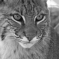 Male Bobcat - Black And White by Jennifer  King