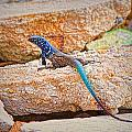 Male Bonaire Whiptail Lizard by Photos By  Cassandra