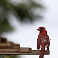 Male Cardinal Bird Closeup by Brandon Alms