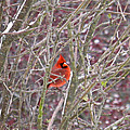 Male Cardinal Cold Day 2 by Nick Kirby