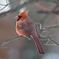 Male Cardinal by Hella Buchheim