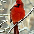 Male Cardinal  by Janette Boyd
