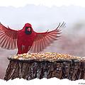 Male Cardinal Landing  by Randall Branham