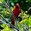 Male Cardinal by Stephen Whalen