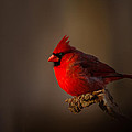 Male Cardinal Subdued Forest Background by Randall Branham