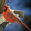 Male Cardinal  by Susan McMenamin