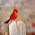 Male Cardinal by Todd Hostetter