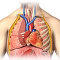 Male Chest Anatomy Of Thorax by Leonello Calvetti