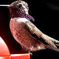 Male Costa Hummingbird On Perch by Jay Milo