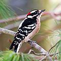 Male Downy Woodpecker by Kerri Farley