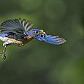Male Eastern Bluebird by Susan Candelario