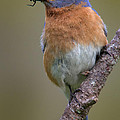 Male Eastern Bluebird With Spider by Jerry Fornarotto