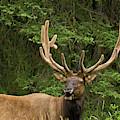 Male Elk, Bow Valley Parkway, Banff by Michel Hersen