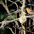 Male European Robin by Christiane Schulze Art And Photography