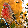 Male Finch In Autumn Leaves by Debbie Portwood