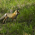 Male Fox   #3521 by J L Woody Wooden