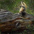 Male Fox   #3575 by J L Woody Wooden