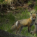 Male Fox And Pup   #3554 by J L Woody Wooden