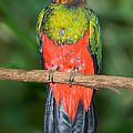 Male Golden-headed Quetzal by Anthony Mercieca