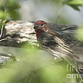 Male House Finch by Dianne Phelps