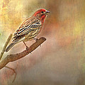 Male Housefinch Looking Up by Debbie Portwood