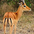 Male Impala With Horns by Amanda Stadther