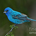 Male Indigo Bunting by Anthony Mercieca